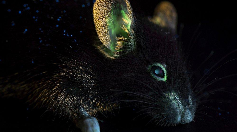 Souris bioluminescente dans l'objectif de Matthieu Gafsou.