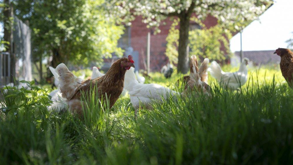 Dans l'ensemble des œufs vendus en Suisse, ceux bio représentent plus du 25% de l'ensemble du chiffre d'affaires.