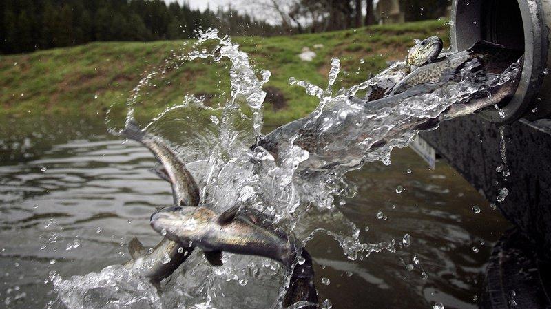 D'après la police lucernoise, les truites retrouvées dans la rivière proviennent d'un élevage privé. (Illustration)