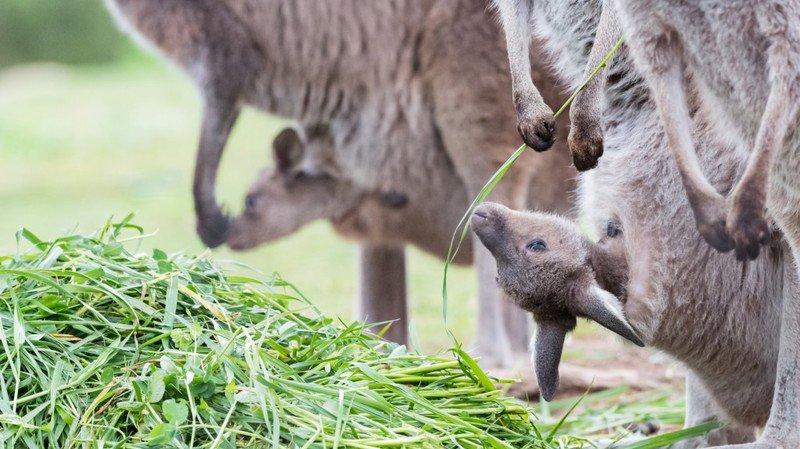 Trois bébés kangourous au zoo de Bâle