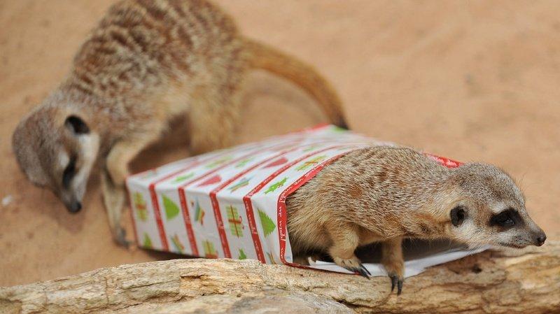 """Parfois surnommé la """"sentinelle du désert"""", le suricate vit dans les savanes arides ou les déserts d'Afrique australe. (Illustration)"""