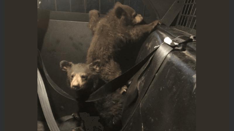 Les oursons ont été mis à l'abri dans une voiture de patrouille.