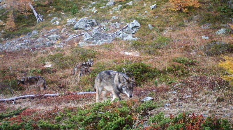 Grands prédateurs: le Tessin a vu passer 33 loups depuis 2006