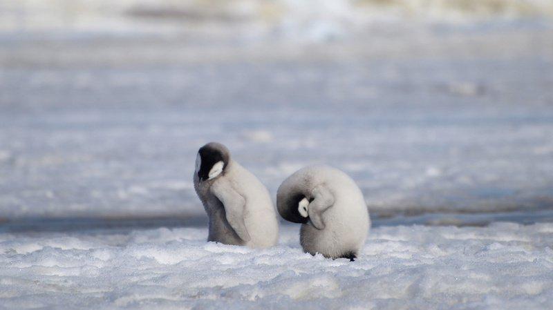 Des images satellites étudiées par le centre de recherche britannique de l'Antarctique ont montré qu'en 2016 la glace sur laquelle les couples de manchots élèvent leurs petits avait cédé. (Illustration)