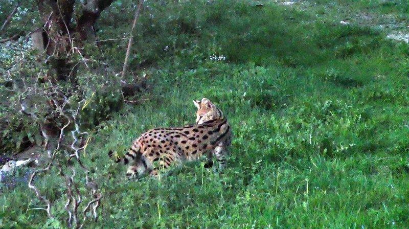 Le serval a été capturé dans un champ près de Wenslingen.