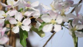 Valais: les arbres fruitiers de la vallée du Rhône sont en fleur