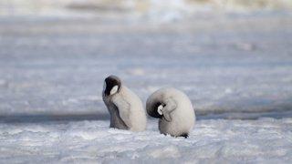 Antarctique: les bébés d'une colonie de manchots empereurs sont morts à cause de la fonte