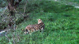 Capture d'un serval à Wenslingen (BL)