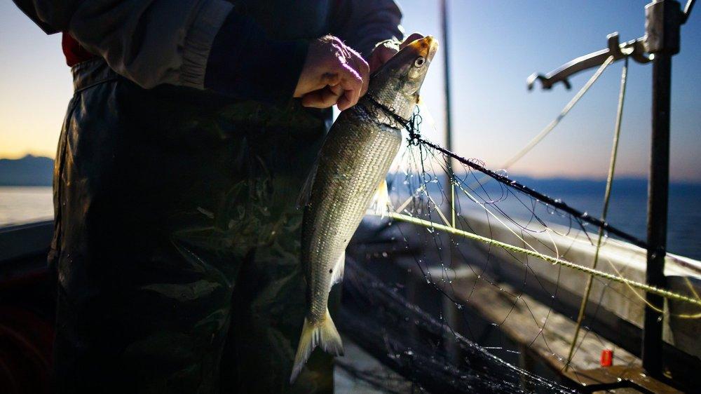 Les populations et les prises de corégones (palées et bondelles) sont en chute libre depuis deux ans dans le lac de Neuchâtel.