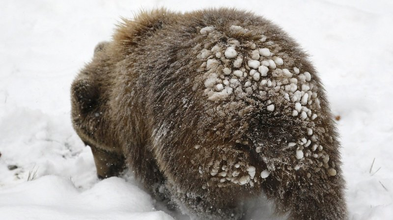 Berne: un garde-chasse découvre les traces d'un ours dans la neige