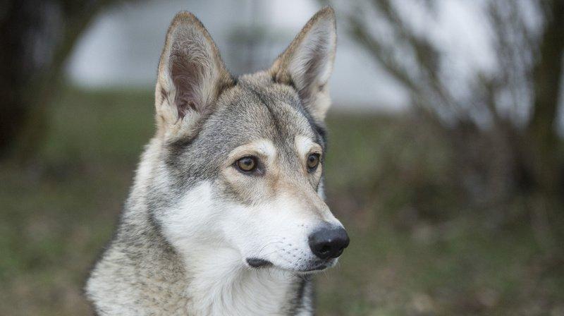 Complètement disparus durant des années en Allemagne, les loups prolifèrent désormais dans plusieurs régions du pays. Les règles d'abattage ont été assouplies mercredi. (Illustration)