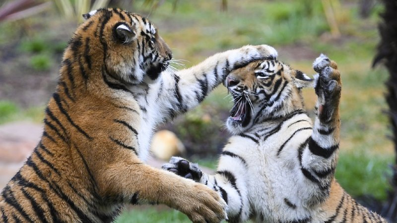 Bangladesh: le nombre de tigres augmente pour la première fois en quinze ans