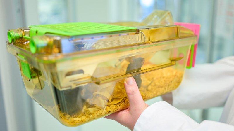 Les expérimentations animales les plus pénibles ne seront pas interdites en Suisse