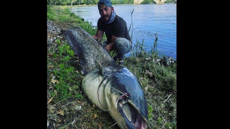 Un silure de 40-50 kg pêché dans le Rhône, près d'Avignon