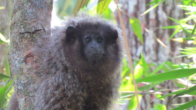 Le cri du singe titi peut transmettre l'information sur le type de prédateur et sur sa localisation.
