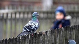 La Chaux-de-Fonds: campagne lancée contre le nourrissage des pigeons