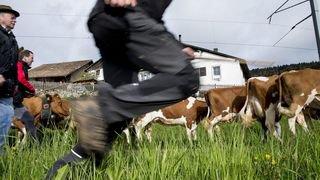 Hauts-Geneveys: les vaches ne monteront plus au printemps