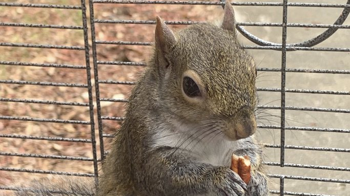 Etats-Unis: il dope son écureuil à la méthamphétamine pour qu'il reste agressif