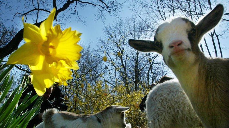 Lait de chèvre: la Protection suisse des animaux dénonce le sort parfois réservé aux chevreaux
