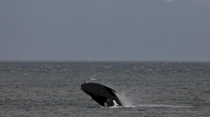 Canada: six baleines noires retrouvées mortes en un mois dans le golfe du Saint-Laurent