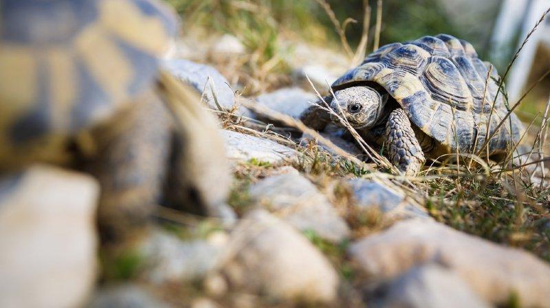 Vaud: un nouveau centre pourra accueillir jusqu'à 4500 tortues à Chavornay