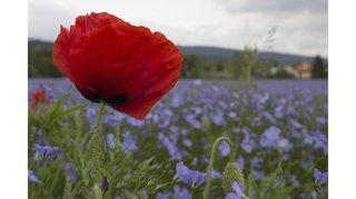 «L'Insta» neuchâtelois de l'été: coquelicot et azur floral