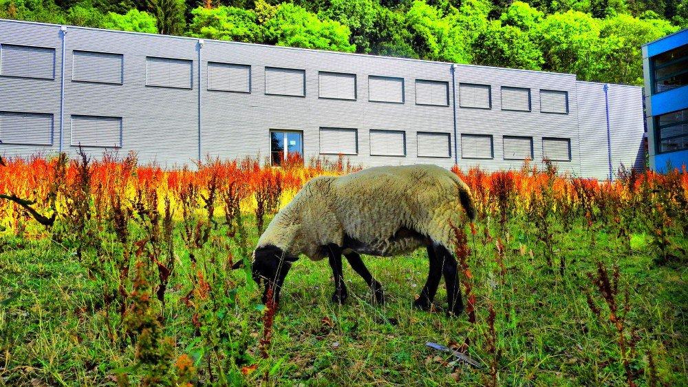Les moutons seront de retour au collège de la Fontenelle, à Cernier, cet automne, une fois que le rumex aura été éradiqué.