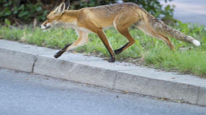 Zurich: une patiente mordue par un renard à l'hôpital universitaire