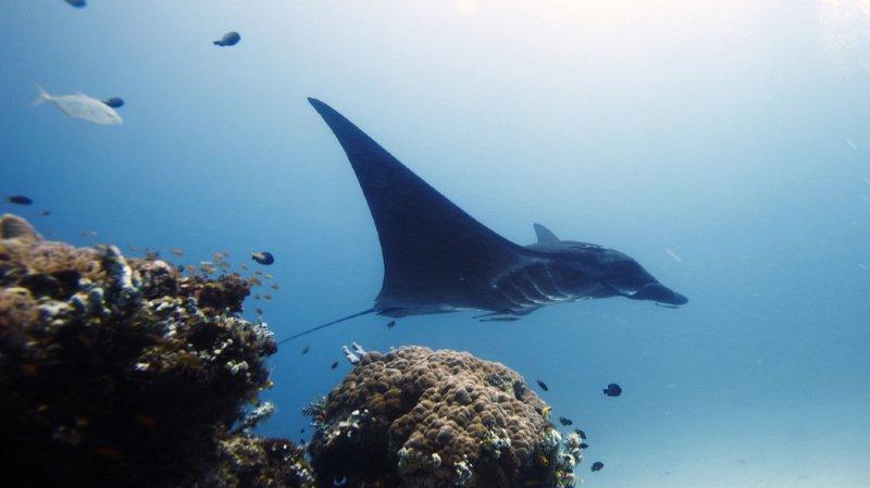 La raie manta est restée tranquille pour que le plongeur puisse retirer un hameçon planté sous l'oeil de l'animal. (illustration)