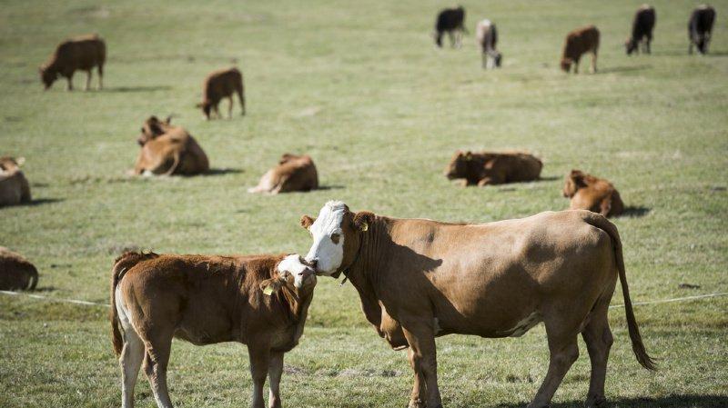 En raison de leur instinct protecteur, les vaches mères peuvent être agressives. (illustration)