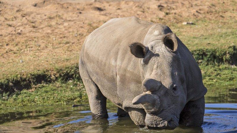 La population de rhinocéros blanc du Sud est plus que jamais menacée. Le dernier mâle s'était éteint l'an dernier.  (illustration)