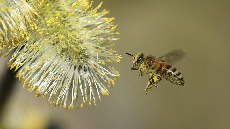 France: des habitants d'un village se plaignent des déjections d'abeilles, le maire s'énerve