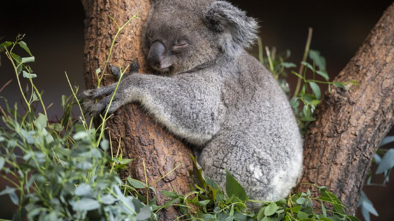 Zurich: deux femelles koalas rejoignent les deux mâles du zoo