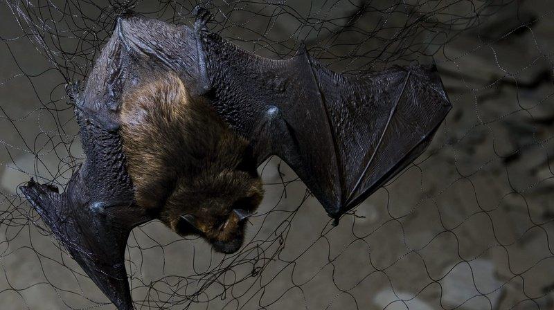 Les 23, 24 et 25 août, le public sera invité à observer de nuit ces curieux mammifères, dont 30 espèces sont dénombrées en Suisse.