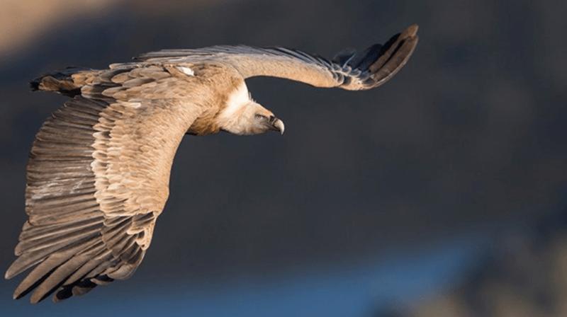 De nombreux vautours fauves passent désormais l'été en Suisse.