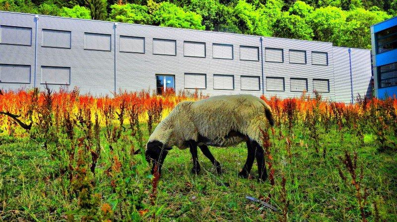 Cernier: les moutons de la Fontenelle sont allés brouter ailleurs à cause d'une mauvaise herbe