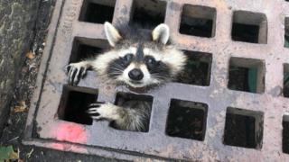 Etats-Unis: des pompiers libèrent un raton laveur coincé dans une grille d'égout