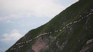Grisons: près de 1500 moutons se sont déplacés vers de nouveaux pâturages