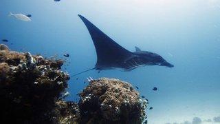 Australie: Une raie manta vient chercher de l'aide auprès de plongeurs