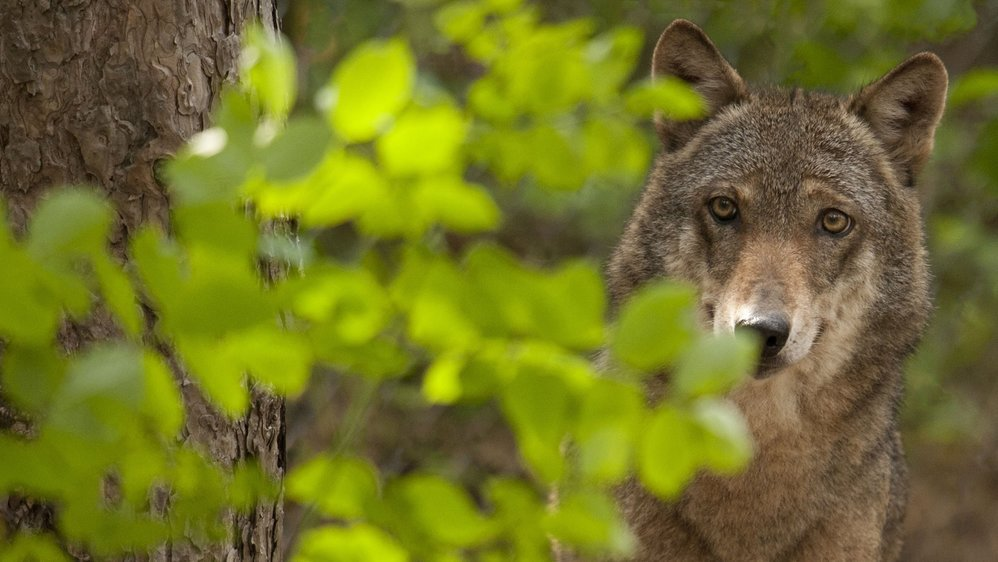 Le loup s'apprête à reconquérir l'Arc jurassien.
