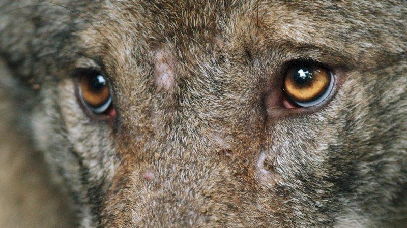 Un chasseur a observé trois louveteaux et deux adultes.
