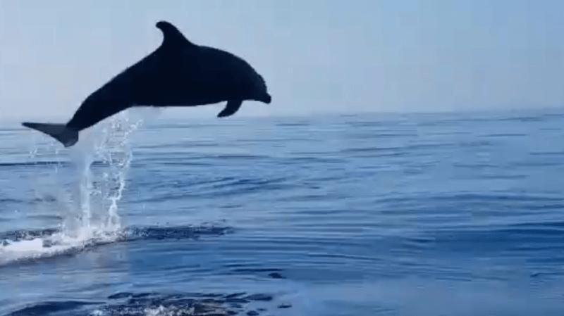 Après la libération du petit, le dauphin adulte a fait son show.
