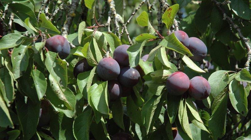 """Consacré """"fruit de l'année"""" en 2013, le pruneau de Chézard est une variété emblématique du Val-de-Ruz."""