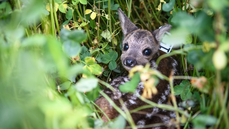 Les faons courent de gros risques en restant cachés dans les hautes herbes à l'approche des faucheuses.