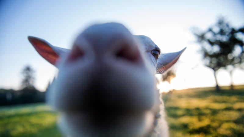 Des moutons seront mis en pâture pour éviter de tondre le gazon trop régulièrement.