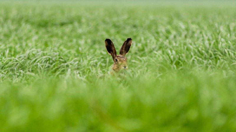 Malgré un plan de sauvetage amorcé en 2013, les effectifs des lièvres bruns restent inquiétants.