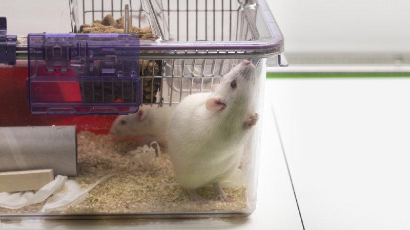 Les recherches ont été menées sur des rats, sur lesquels le cerveau a été altéré dès la deuxième semaine de la maladie du foie.