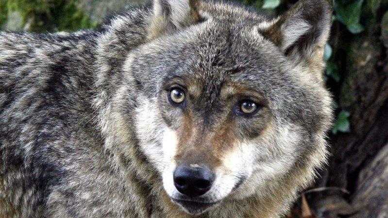 Le loup a tué cinq moutons sur l'alpage de Chésery, dans le Val-d'Illiez.