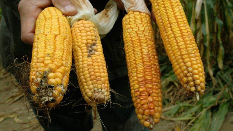 Alimentation: la Confédération prévoit d'autoriser 50 ingrédients issus d'OGM