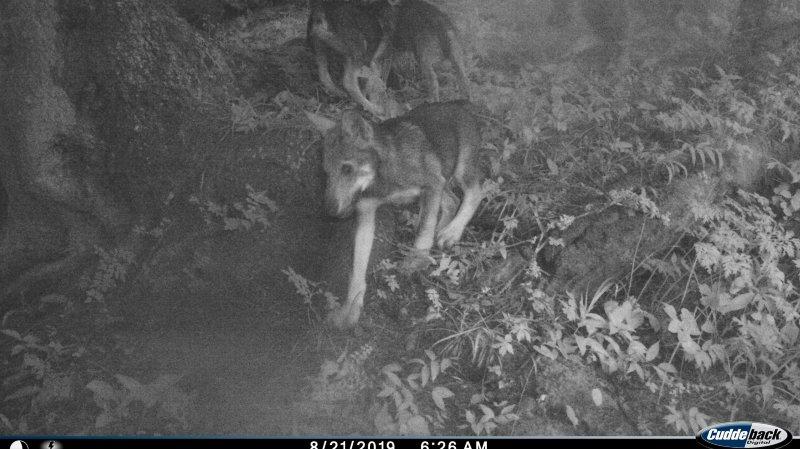 Valais: la présence de sept louveteaux et de trois loups confirmée dans le Chablais